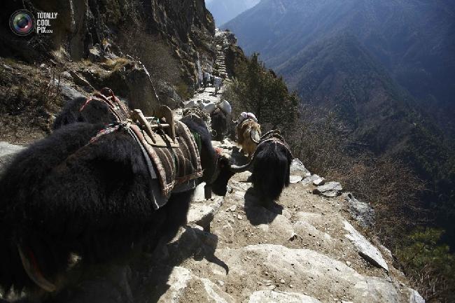 Яки направляются к базовому лагерю Эвереста в районе Кхумбу, Непал. (NAVESH CHITRAKAR/REUTERS)