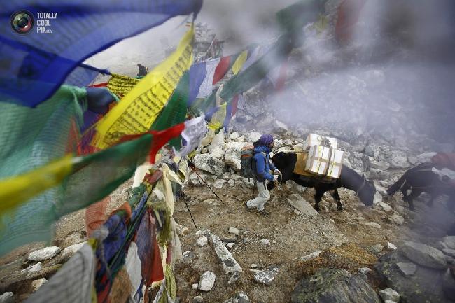 Яки проходят мимо молитвенных флагов на обратном пути из базового лагеря Эвереста. (NAVESH CHITRAKAR/REUTERS)