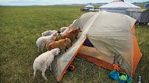 Овцы интересуются туристической палаткой, река Амур, Монголия. (Фото: Кристл Райт)