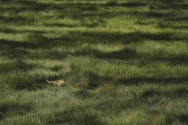 LIONESS IN THE SWAMP. GIAN LUIGI FORNARI LANZETTI