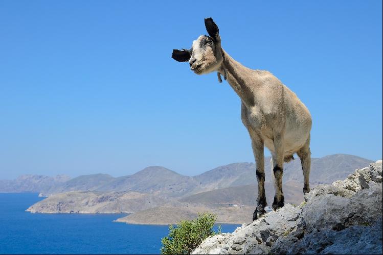 Под секторами ходит много коз. На первый взгляд это безобидные существа, но они норовят съесть все что плохо лежит, будь то скальник, банан или кофта.