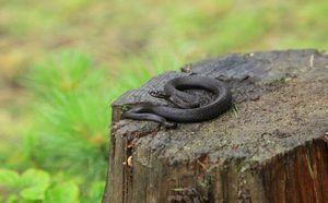 Змеи в Карпатах: рекомендации по действиям при встрече со змеями