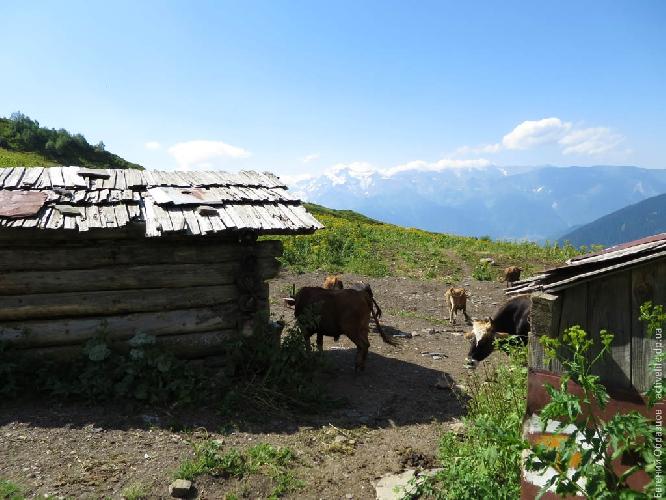 Коровник по пути