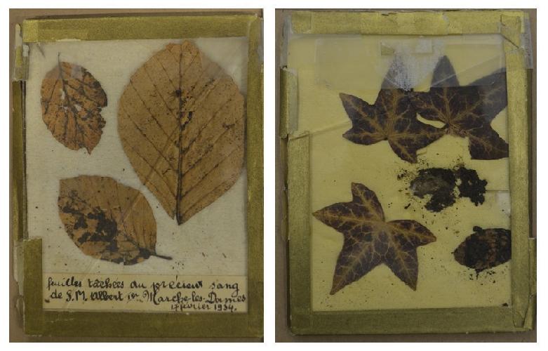 Листья, на которых сохранились следы крови погибшего монарха