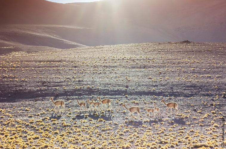 На пути из Копиапо на закате встретили это мирно пасущееся стадо гуанак.