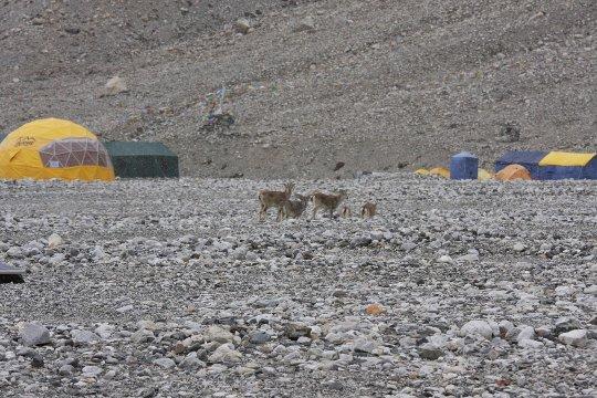 Фауна Базового лагеря